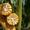 Насіння кукурудзи: Вакула,  Онікс,  Яніс (new) #1587451