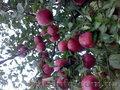 Саженцы плодовых культур