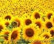 Насіння соняшника Форвард