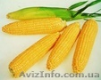 Семенной материал кукурузы и подсолнечника от производителя ЮгАгроСерв