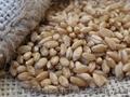 Яровая твердая пшеница Чадо