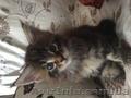 Продам котят Мейн-кун