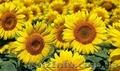 Насіння гібриду соняшника - Ауріс